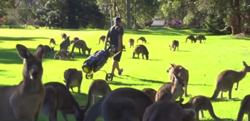 Mob of Kangaroos take over golf course