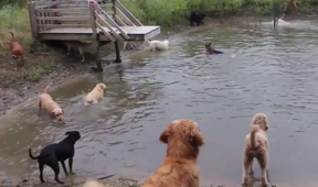Dogs frolicking in pond will make your day