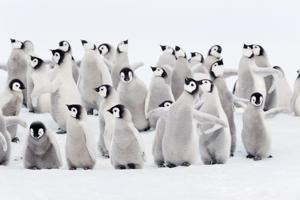 Group of chicks of Emperor penguins, Snow Hill Island, Weddell Sea, Antarctica.
