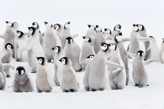 25 枚のスライドの 1 枚目: Group of chicks of Emperor penguins, Snow Hill Island, Weddell Sea, Antarctica.