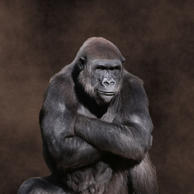 A portrait of a male Western Lowland Gorilla sitting with his arms crossed against a smoky brown background.
