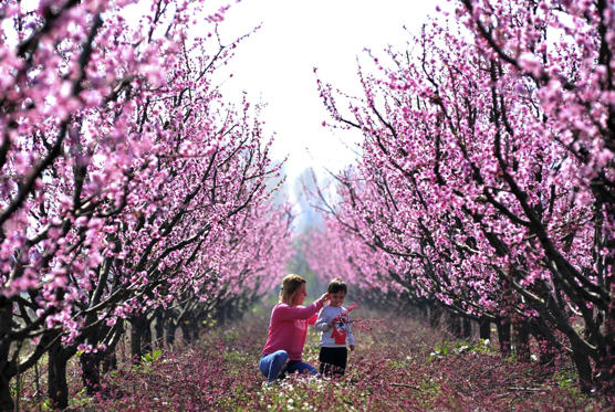Slide 1 dari 29: BURSA, TURKEY - APRIL 1 :  A mother and her child are seen under fully bloomed cherry blossom trees in Bursa's Inegol region, Turkey on April 1, 2017. (Photo by Saban Kilicci/Anadolu Agency/Getty Images)
