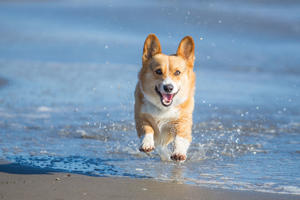 An energetic Pembroke Welsh Corgi dog splashing through water at the beach on a sunny afternoon.
