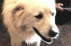 Brian, the Great Pyrenees dog who watched over his fallen friend in Dallas.