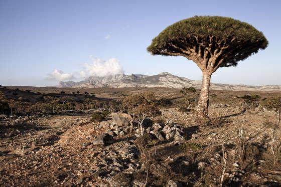 SOCOTRA ISLAND, YEMEN - MARCH 11: A Dragoon tree is seen in Diksam Plateaux on March 11, 2011 in Socotra Island, Yemen.