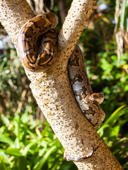 File: 	Python Snake wrapped around a branch