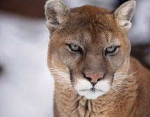 Colorado runner recounts choking mountain lion to death