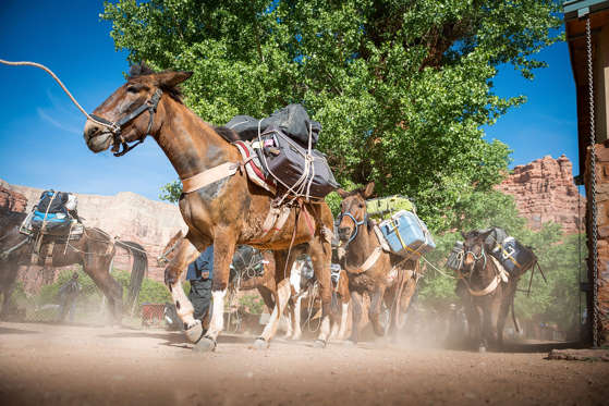 Mule pack train bring the mail and other goods from the village of Supai, Arizona, at the bottom of the Canyon, to the rim at Hualapai Hilltop.
