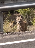 Man is 'feline' brave as he gets up close and personal with bobcat