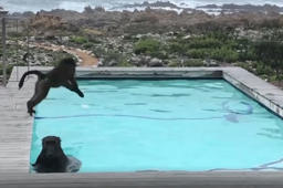 Baboons' hilarious poolside antics caught on film