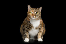 Fat Ginger Calico Cat Sitting and Looks Curiously on Isolated Black Background, front view