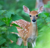 Cute fawn in green foliage looking at viewer.