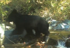 Rare Asiatic bear spotted in Korean Demilitarised Zone