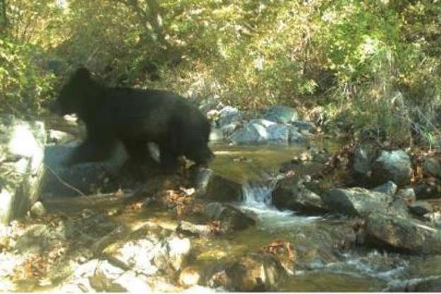 Rare Asiatic black bear spotted out for a walk in the Korean