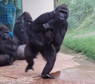 Gorillas escape from heavy rainfall