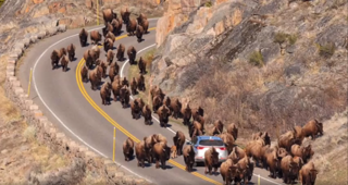 Dozens of bison swarm car