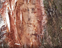 Holy-Wood! Man claims piece of bark contains image of Jesus Christ!
