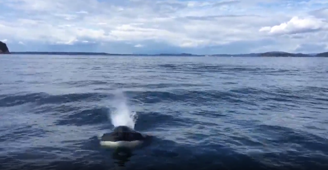 Killer whale scares passengers after nearly jumping into boat