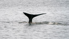 A North Atlantic right whale swims in the waters of Cape Cod Bay April 14, 2019 near Provincetown, Massachusetts. - The North Atlantic right whale is one of the worlds most endangered large whale species, with only an estimated 418 remaining. So far this year seven North Atlantic right whale calves have been spotted. (Photo by Don Emmert / AFP)        (Photo credit should read DON EMMERT/AFP/Getty Images)