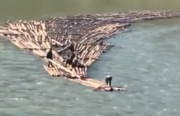 Lumberjacks transport dozens of logs downriver by riding them
