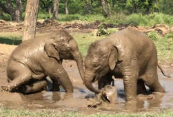 Baby elephants enjoy rolling in mud