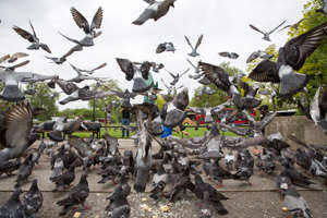 A feeding frenzy of pigeons on the pavement in front of Marble Arch, Central London. United Kingdom.  (photo by Andrew Aitchison / In pictures via Getty Images)