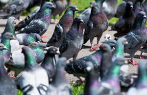 Hungry Pigeons waiting to be fed in Redditch, Worcestershire, UK. (Photo by: Education Images/UIG via Getty Images)