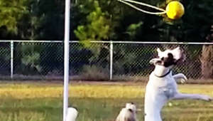 Competitive Great Dane and pal have a blast playing tether-ball