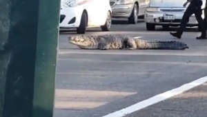 Enormous crocodile holds up multiple lanes of traffic in Mexico