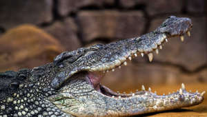 MADRID, SPAIN - 2019/05/17: A Nile crocodile (Crocodylus niloticus) with its mouth opened pictured in its enclosure at Faunia zoo park. One of the characteristics of this species is its great size, the second in size in the world. (Photo by Marcos del Mazo/LightRocket via Getty Images)