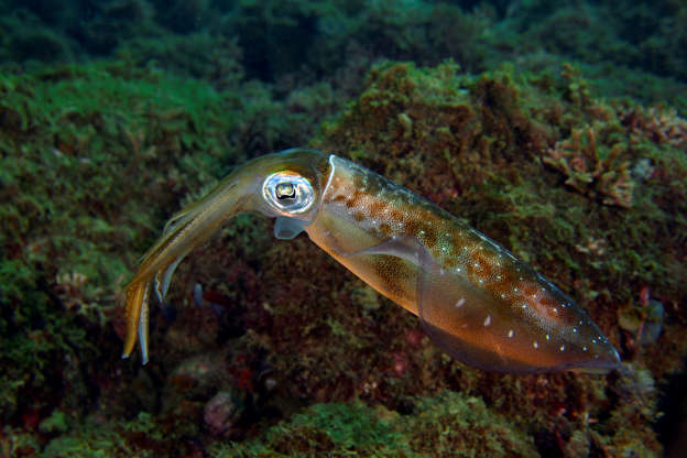 Squid might thrive in oceans with rising carbon dioxide