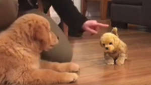 Puppy gets super jealous when introduced to toy doggy