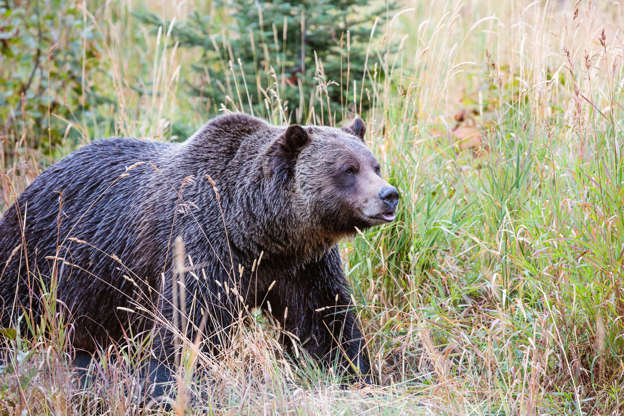 Grizzly bear killed after being hit by semi on highway in