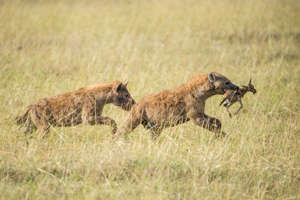 *** EXCLUSIVE *** 	 MASAI MARA, KENYA - AUGUST 2015: Hyenas run off with young Thomson's gazelle, in Masai Mara, Kenya, August 2015.  A PHOTOGRAPHER captured one of the oldest rivalries in the animal kingdom as a pair of lions went head to head with a pack of hungry hyenas. Snapped in the heart of the Masai Mara, south Kenya, the pictures give an insight into the day-to-day battles between Africas most deadly predators. German photographer Ingo Gerlach took the powerful images while on safari in the iconic game reserve in August 2015, witnessing first hand the good and bad side of nature.  PHOTOGRAPH BY Ingo Gerlach / Barcroft Images  London-T:+44 207 033 1031 E:hello@barcroftmedia.com New York-T:+1 212 796 2458 E:hello@barcroftusa.com New Delhi-T:+91 11 4053 2429 E:hello@barcroftindia.com www.barcroftimages.com (Photo credit should read Ingo Gerlach / Barcroft Images / Barcroft Media via Getty Images)