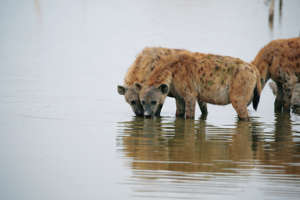 Spotted hyenas drink from a lake at the Amboseli National Park, Kenya August 19, 2018. REUTERS/Baz Ratner