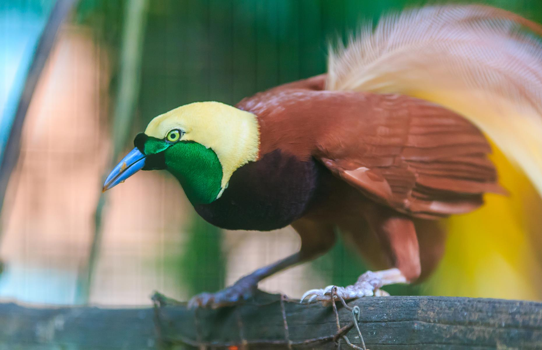 Slide 6 of 26: On top of verdant landscapes, New Guinea is home to an abundance of wildlife. In fact, the islandboasts as many bird and plant species as Australia, despiteoccupying only 1/10th of the land area.Popular residents include the wonderfully flamboyant birds of paradise (pictured) and tree kangaroos – many of which are at threat due to habitat destruction.