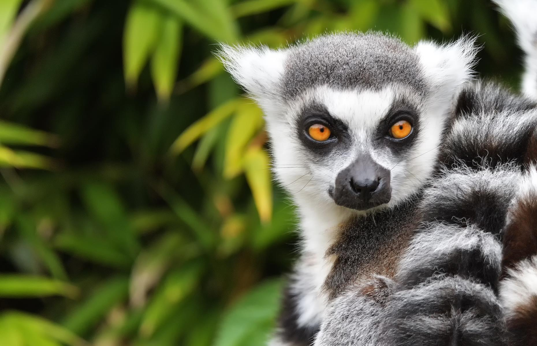 Slide 9 of 26: Lemurs may be native to Madagascar – there are more than50 different kinds – but today, 10 of these species are critically endangered, seven are endangered and 19 are considered vulnerable. Chameleons, geckos and snakes are also at risk of being captured by the wildlife trade.