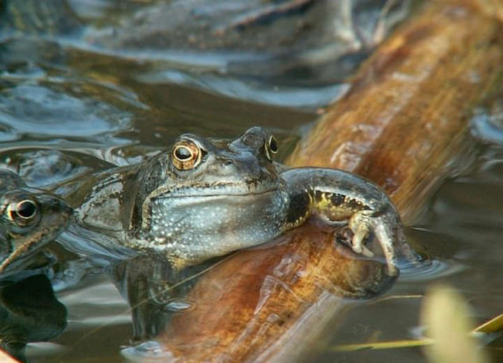 Skin bacteria could save Britain's frogs from a deadly virus