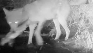 First-ever video shows wolves catching and eating fish