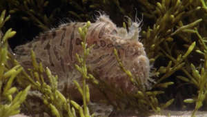 See how some frogfish lure their prey