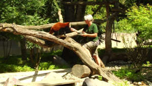 a person sitting in a tree: As severe weather continues to hit European countries with chocking heat, staff at Mulhouse Zoo in France are trying lots of different options to encourage the animals to cool down.