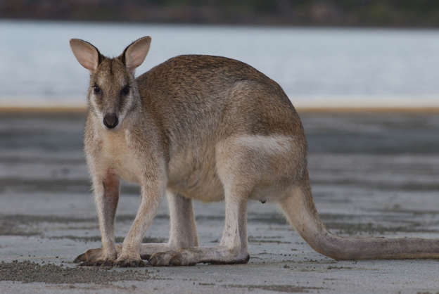 Reward Offered After Two Wallabies Shot With Bow And Arrow In Tasmania