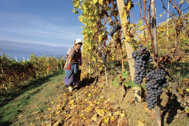 Diapositiva 8 di 59: Farmer in a vineyard during the harvest, La Morra, Piedmont, Italy.