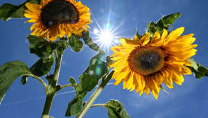 24 June 2019, Baden-Wuerttemberg, Ravensburg: The sun shines from a blue sky between two sunflowers. Photo: Felix Kästle/dpa (Photo by Felix Kästle/picture alliance via Getty Images)
