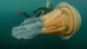 Huge jellyfish filmed off U.K. coast