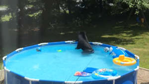 Woman catches black bear playing with toys in plastic pool