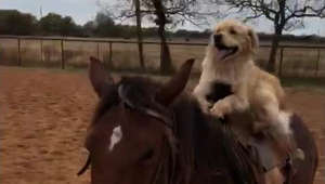 Adorable video of dog riding a horse
