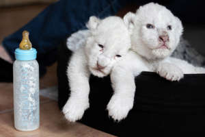 "New born white lion cubs rest in their basket after drinking milk with a nursing bottle, on August 11, 2019, at the association ""Caresse de tigre"", at La Mailleraye-sur-Seine, northwestern of France. - The two white lion cubs, named Nala and Simba, were born at the end of July 2019 at the association. (Photo by LOU BENOIST / AFP)        (Photo credit should read LOU BENOIST/AFP/Getty Images)"