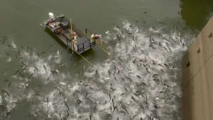 Asian carp shocked into leaping from water