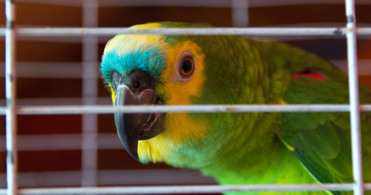 This parrot sounds like a crying baby